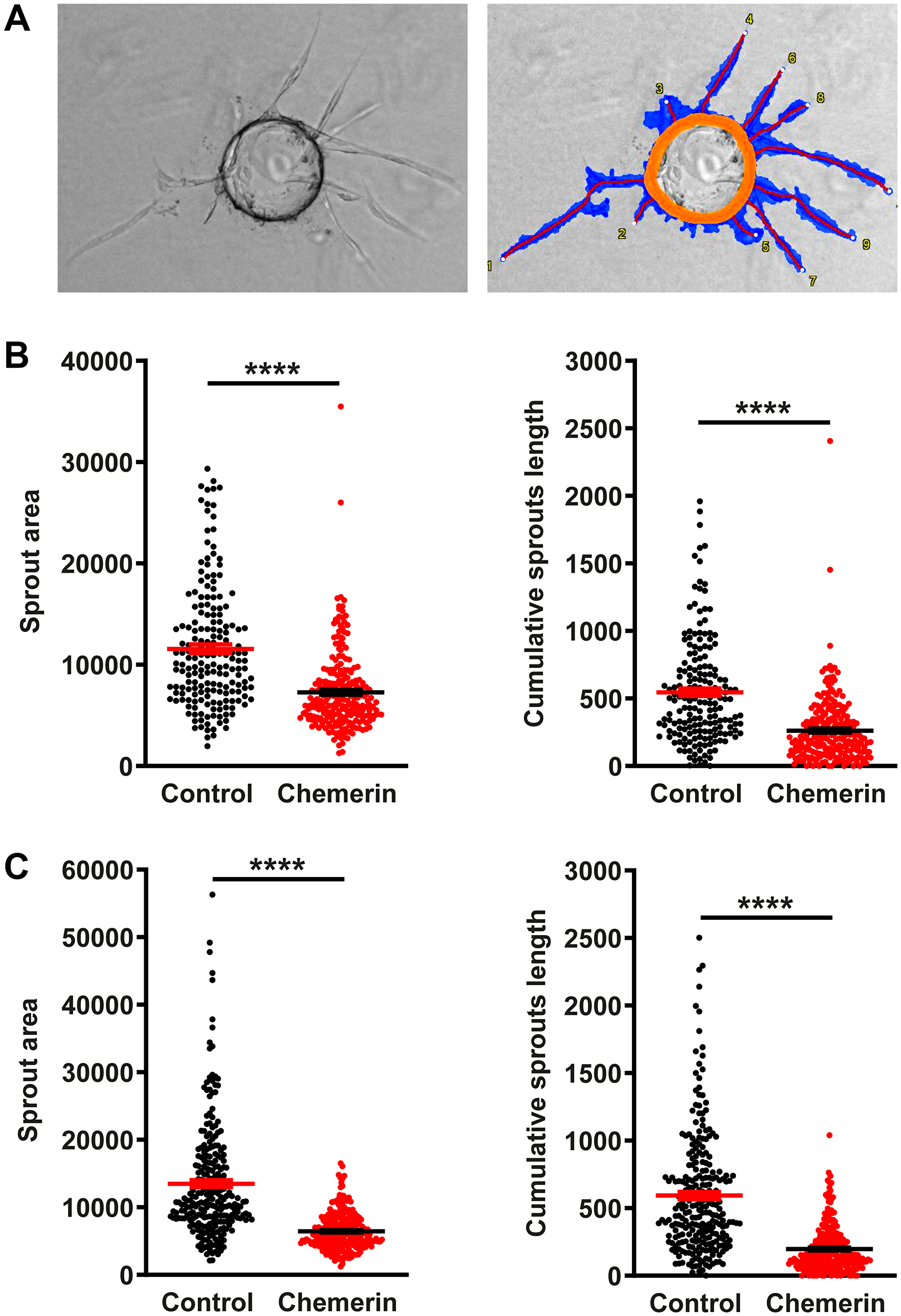 Chemerin inhibits angiogenesis in the bead sprouting assay.