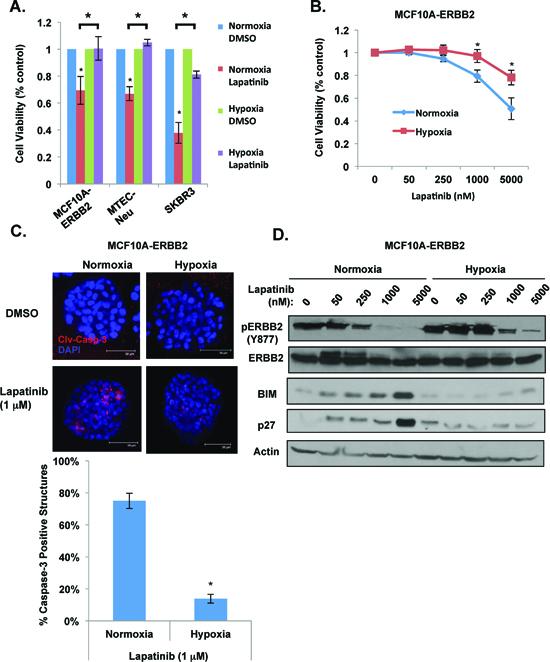 Hypoxia blocks lapatinib-mediated effects in ERBB2-positive breast cancer cells.