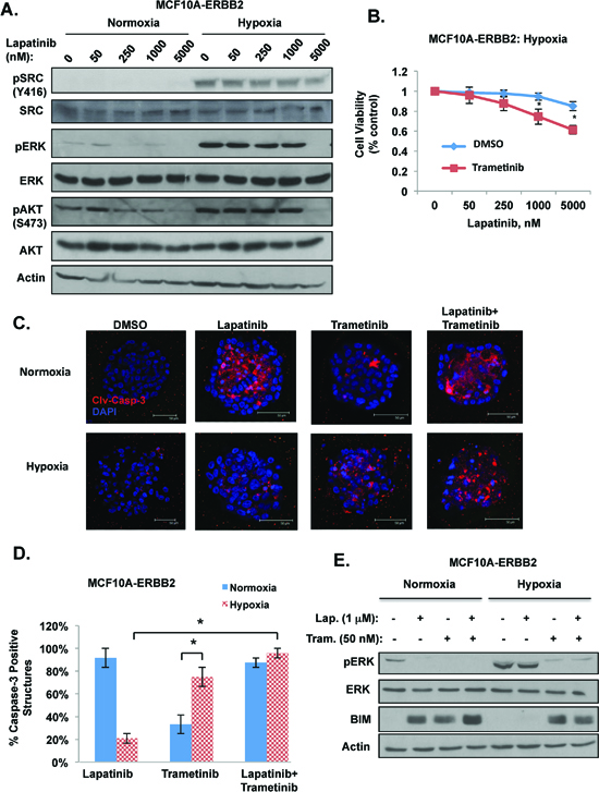 Hypoxia requires ERK activity for lapatinib resistance in breast cancer cells.
