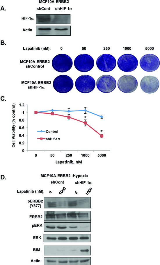 HIF-1α is required for hypoxic-mediated lapatinib resistance and signaling in ERBB2-expressing cells.