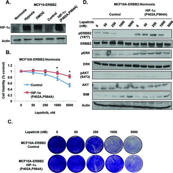 HIF-1α is sufficient to induce lapatinib-resistance in ERBB2-expressing cells under normoxic conditions.
