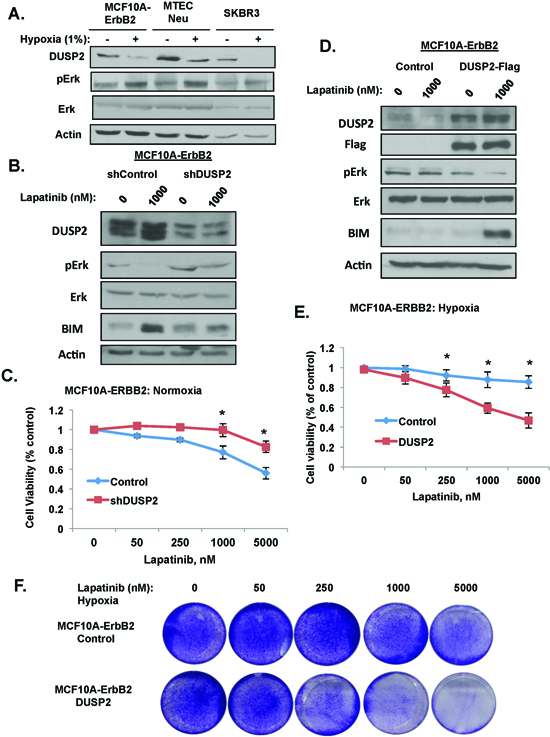 HIF-1 target DUSP2 is required for lapatinib resistance.