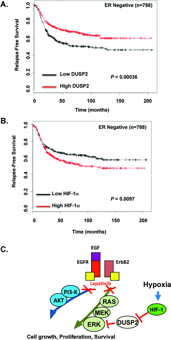 An inverse relationship between DUSP2 and HIF-1α in ER negative breast cancer associates with decreased relapse-free survival.