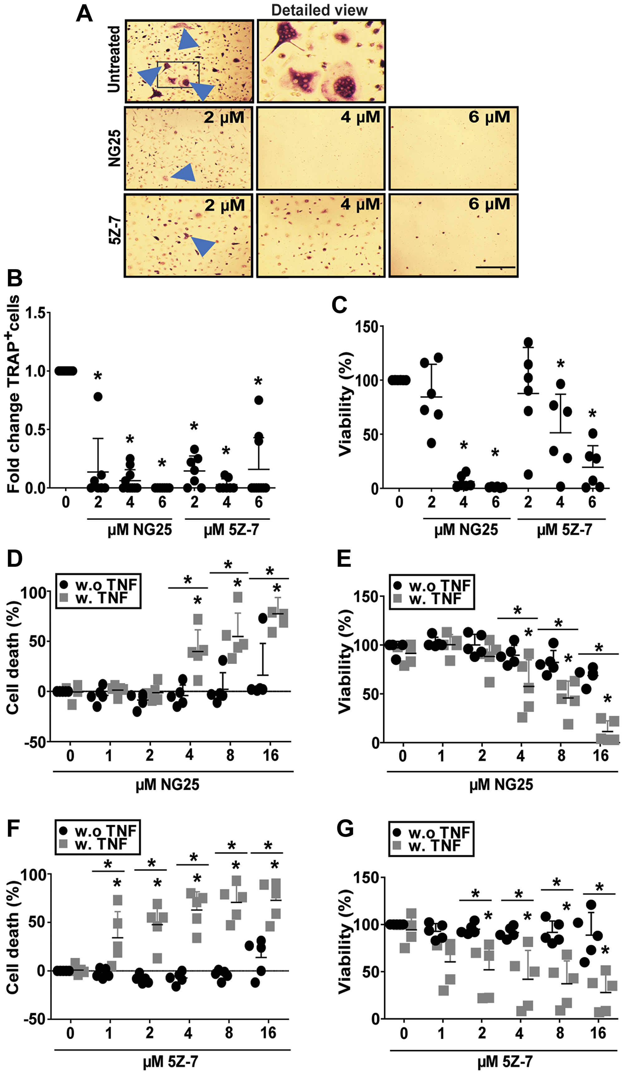 NG25 and 5Z-7 reduce viability and number of differentiating osteoclasts and trigger TNF-dependent cell death in pre-osteoclasts.