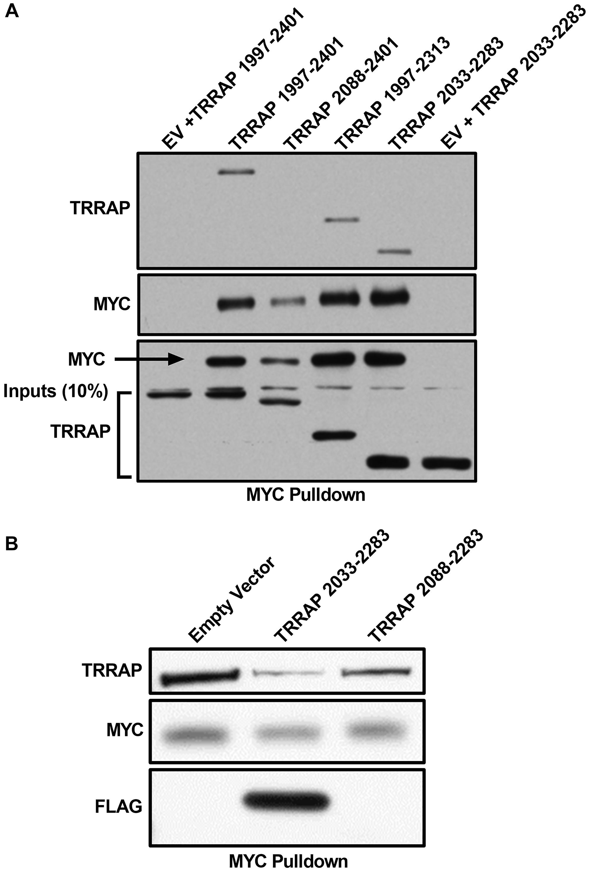TRRAP 2033-2283 is the minimal MYC-binding domain.