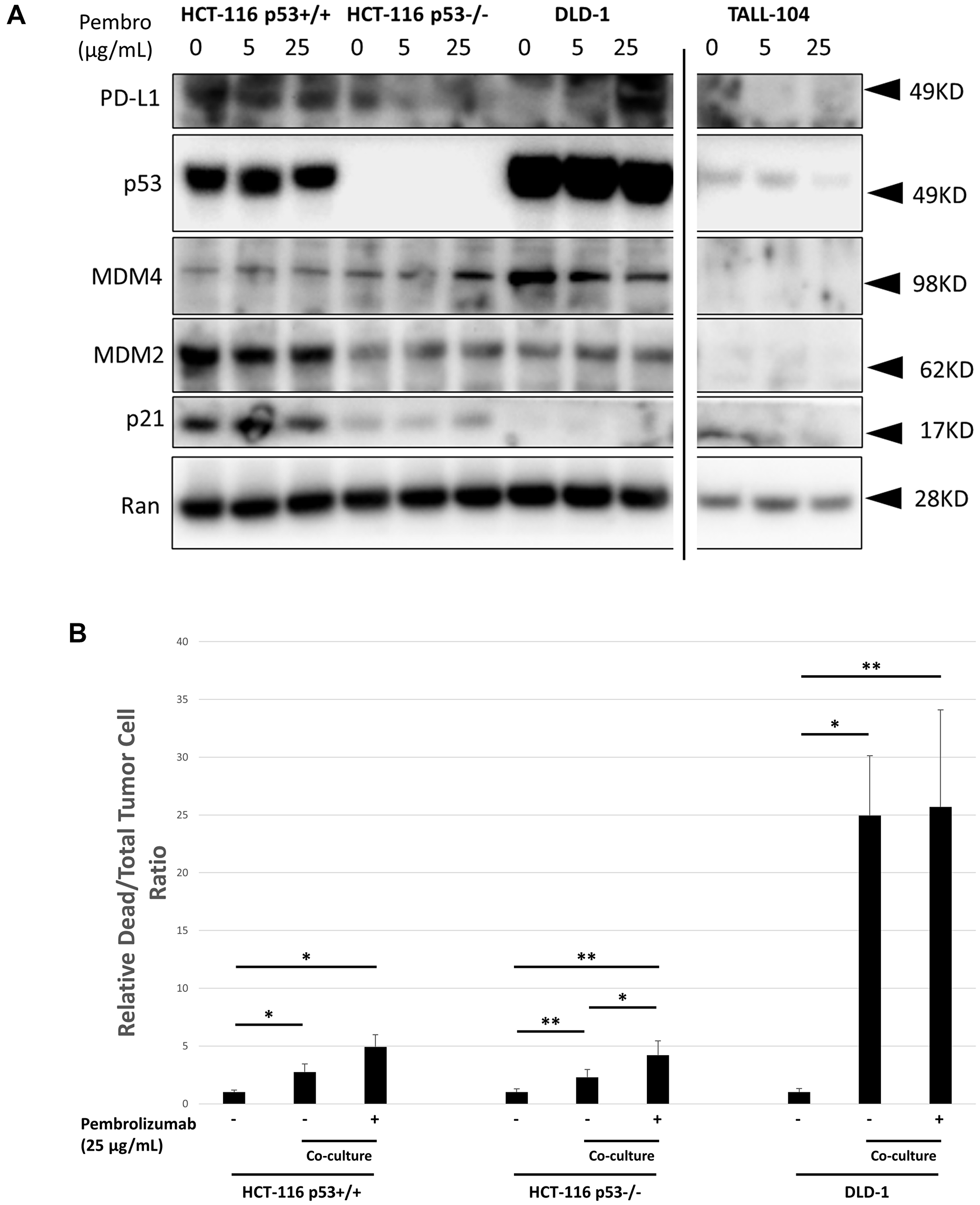 In vitro characterization of human CRC cell line response to co-culture with TALL-104 human CD8+ T-cells and anti-PD-1 therapy.