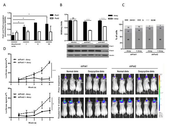 Contribution of Pak1 and Pak2 to cell proliferation and tumor growth in meningioma cells.