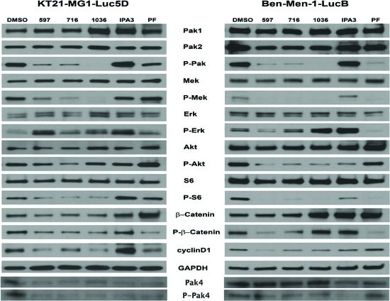 The effect of Pak inhibitors on Erk and Akt-S6 signaling pathways.