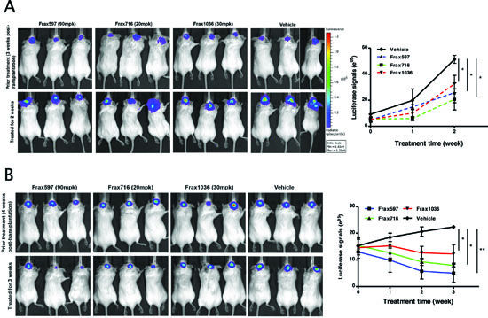 Pak inhibitors suppressed tumor growth in an orthotopic meningioma model. Mice bearing tumors were established as described in Materials and Methods and tumor growth was monitored by BLI.