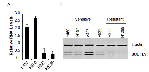 SULT1A1 expression and NSC743380-induced antitumor activity.