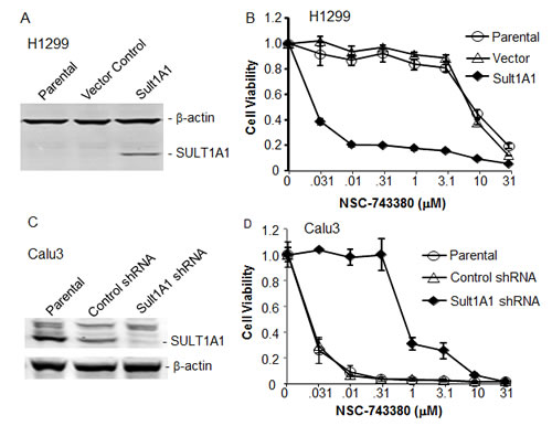 Effect of SULT1A1 overexpression/knockdown on NSC-743380–induced antitumor activity.