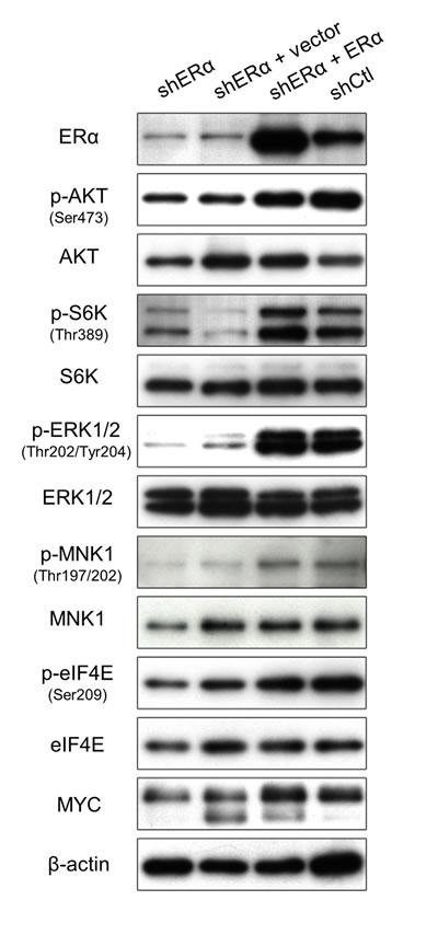 ERα regulates the activity of PI3K and MAPK signaling.