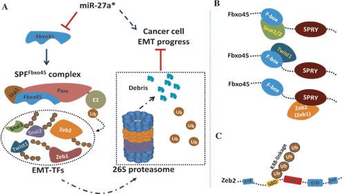 miR-27a*/Fbxo45/EMT-TFs axis controls EMT in tumor cells.
