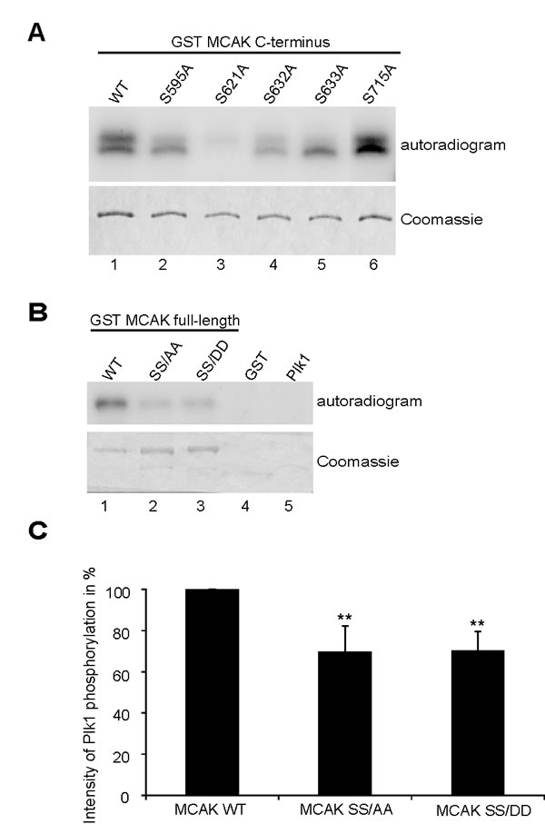S632/S633 are phosphorylation sites for Plk1.