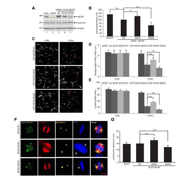 S632/S633 phosphorylation significantly enhances the microtubule depolymerizing activity of MCAK