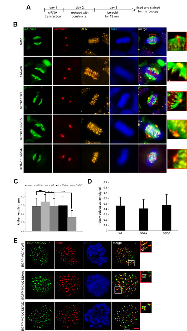 Decreased k-fiber length in cells with MCAK SS/DD and unchanged localization of MCAK mutants.