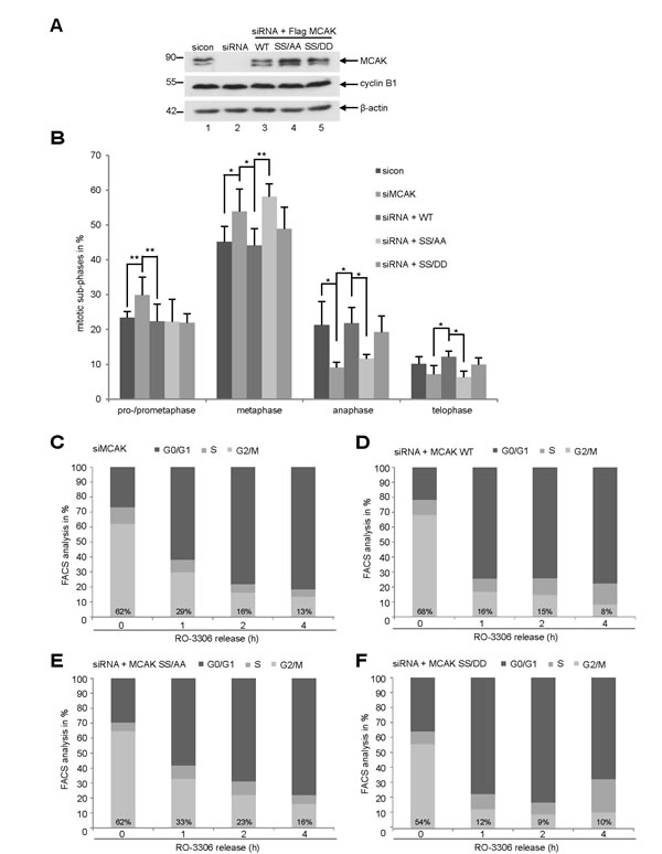 Interfering with MCAK SS632/633 phosphorylation causes a metaphase arrest.
