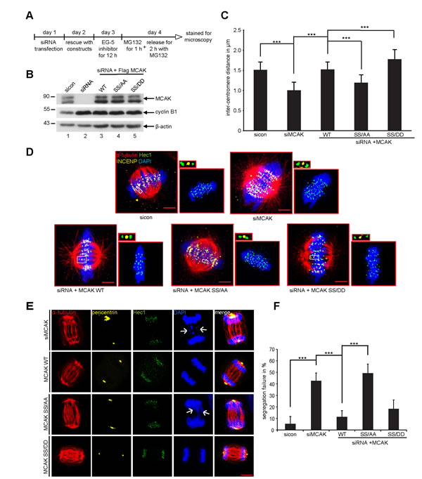 Expression of MCAK SS/AA reduces the inter-centromere distance and causes chromosome segregation defects.