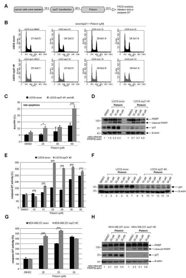 Tumor cells depleted of p21 with siRNAs show more apoptosis upon Poloxin treatment.
