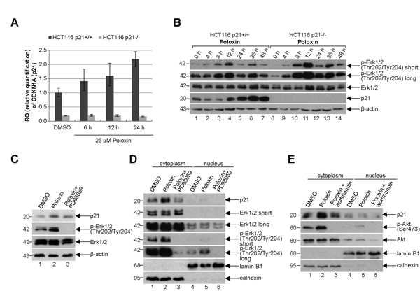 p21 is increased in the cytoplasm.