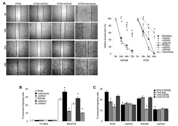 The impact of cld7 on CoCa cell migration.