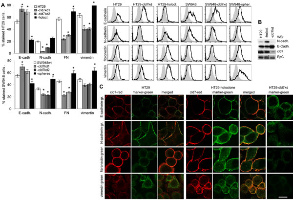 Expression of mesenchymal markers and EMT transcription factors in dependence on cld7 expression.