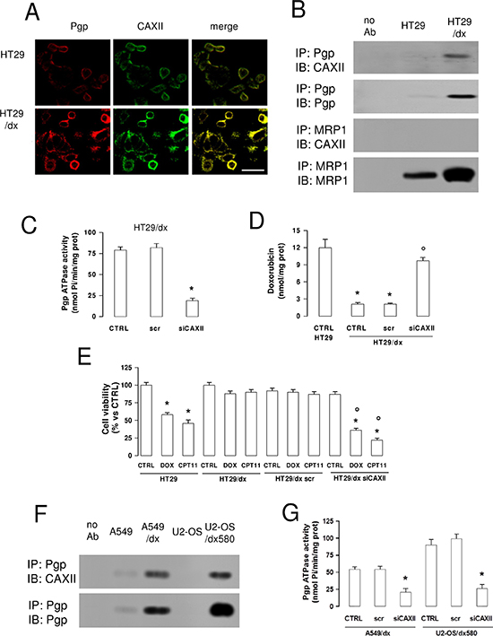 CAXII is physically associated with Pgp and increases Pgp activity in chemoresistant cells.