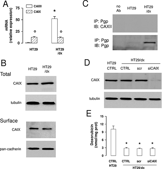 CAIX does not mediate chemoresistance to Pgp substrates in colon cancer cells.