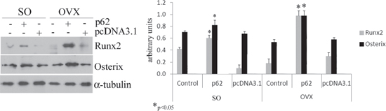 p62 DNA increases osteogenic markers.
