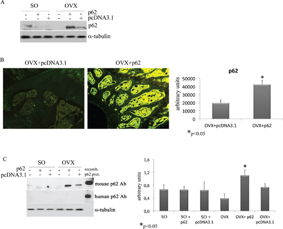 p62 encoding plasmid up-regulates the endogenous p62 protein synthesis.