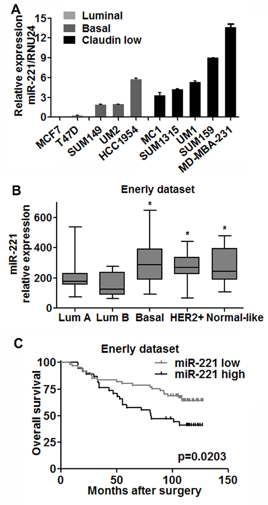 miR-221 is upregulated in less differentiated breast cancer cells and correlated with clinical outcome.