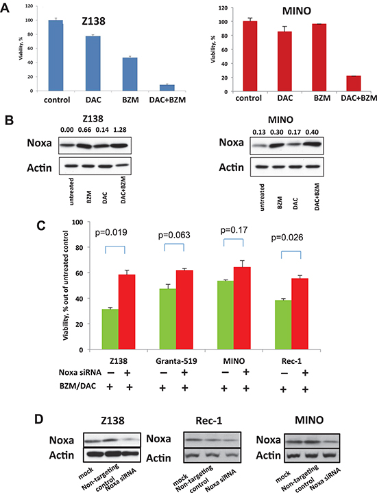 DAC sensitizes MCL cell lines to BZM via Noxa induction.
