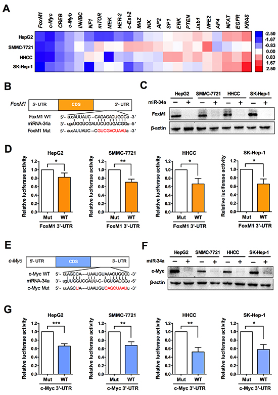 miR-34a targets FoxM1 and c-Myc in liver cancer cells.
