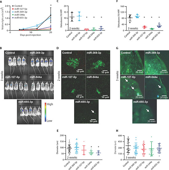 Ectopic expression of 14q32-encoded miRNAs limits lung colonization of metastatic tumor cells.