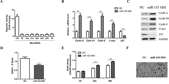 MicroRNA-153 mimics promotes β-catenin signaling in HCC cells.