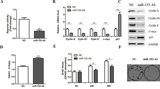 MicroRNA-153 antisense inhibits β-catenin signaling.