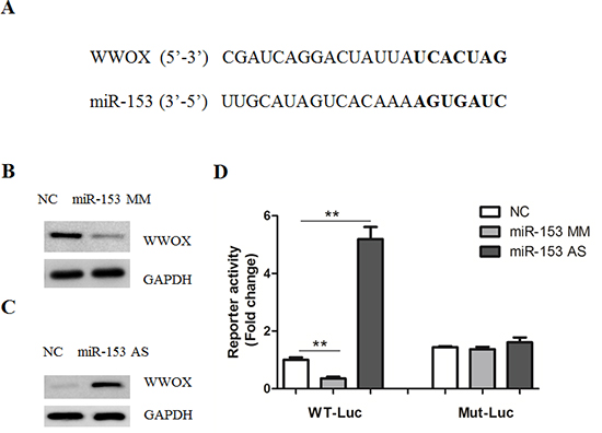 MicroRNA-153 regulates WWOX expression.