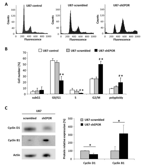 EPOR down regulation leads to a cell cycle arrest in G2/M phase and polyploidy.