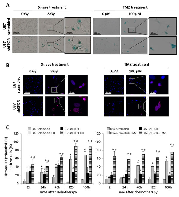 Senescence induced by X-rays treatment or temozolomide exposure is potentiated by EPOR inhibition on glioma cells.