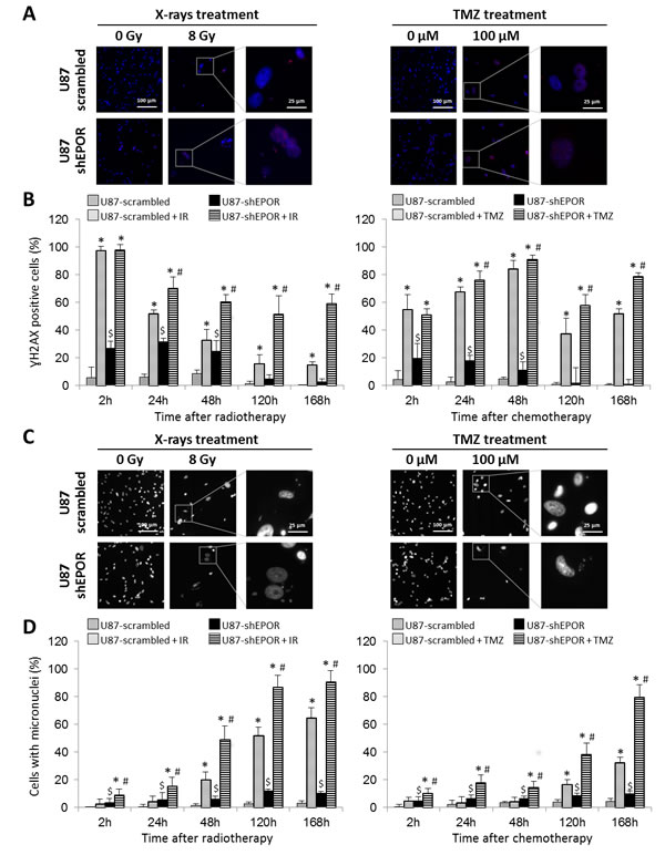 Mitotic death induced by X-rays treatment or temozolomide exposure is potentiated by EPOR inhibition on glioma cells.