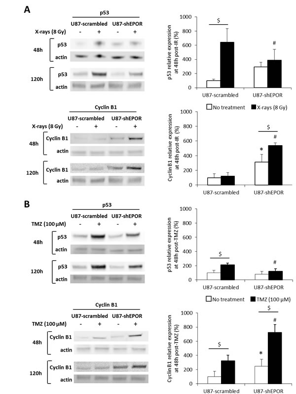 EPOR silencing on U87 cells increases cyclin B1 expression but does not modulate p53 expression induced by radiation or temozolomide exposures.