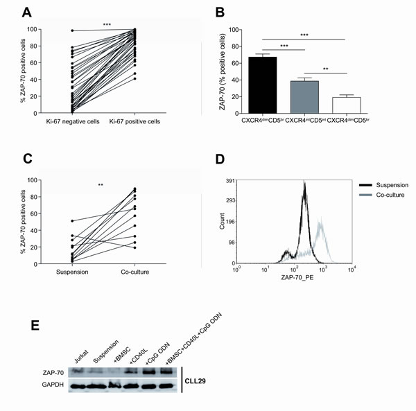 The co-culture of primary CLL cells with BMSC, CD40L and CpG ODN markedly enhances ZAP-70 expression.