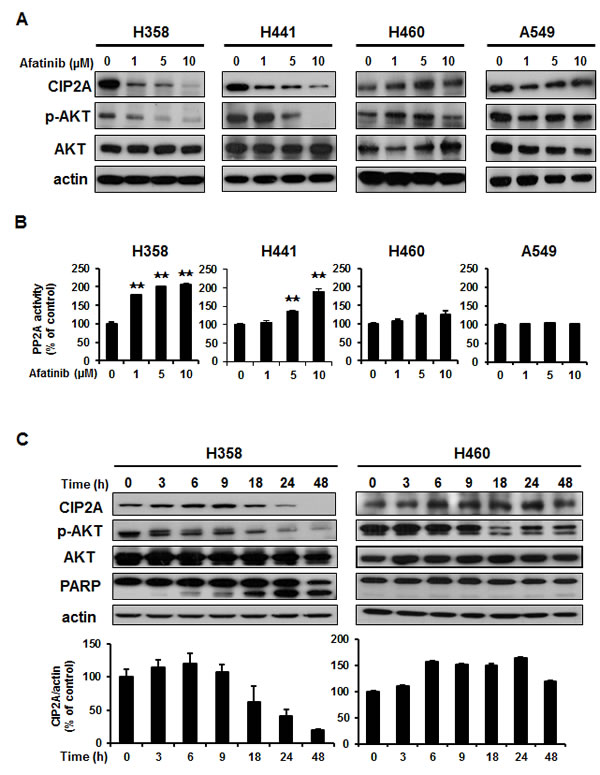 Downregulation of CIP2A determined the effects of afatinib on p-AKT and apoptosis in NSCLC cells through PP2A activation.