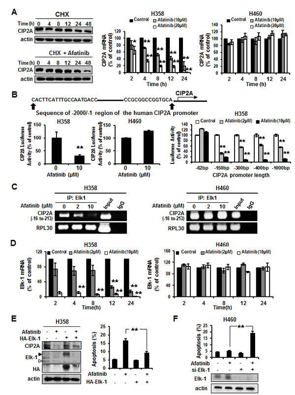 Elk-1 regulated CIP2A in NSCLC cells by afatinib.