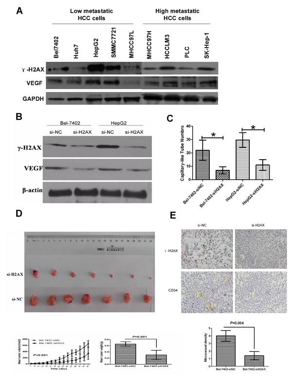 Down-regulation of γ-H2AX inhibits angiogenesis and tumorigenicity of HCC cells.