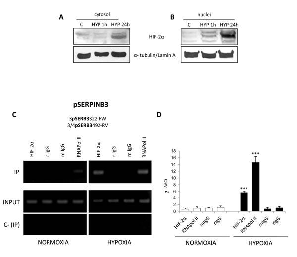 Hypoxia induces HIF-2α nuclear translocation and its binding to SERPINB3 promoter.