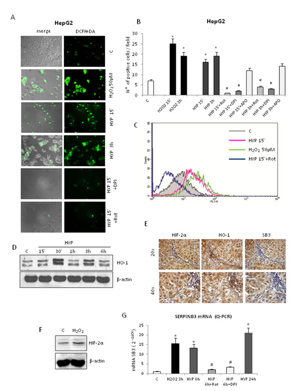 Hypoxia-dependent SERPINB3 (SB3) up-regulation involves intracellular ROS generation.