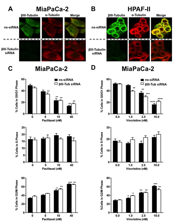 FIGURE 4: The effect of βIII-tubulin silencing on pancreatic cancer cell morphology and cell cycle.