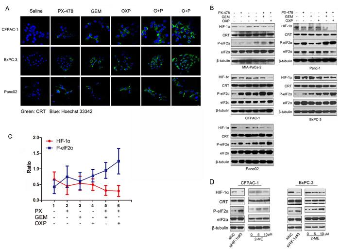 Negative correlation between HIF-1α expression and eIF2α phosphorylation.