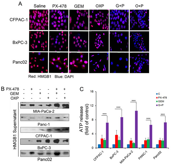 HMGB1 and ATP release in response to treatment.